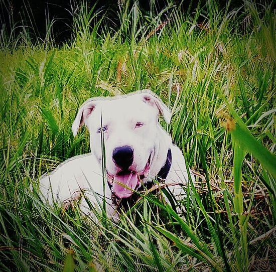 Pet Portraits dog. One blue eye. Pit bull mas American bulldog mix. White