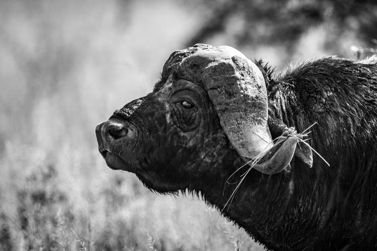 Close-up of buffalo looking away