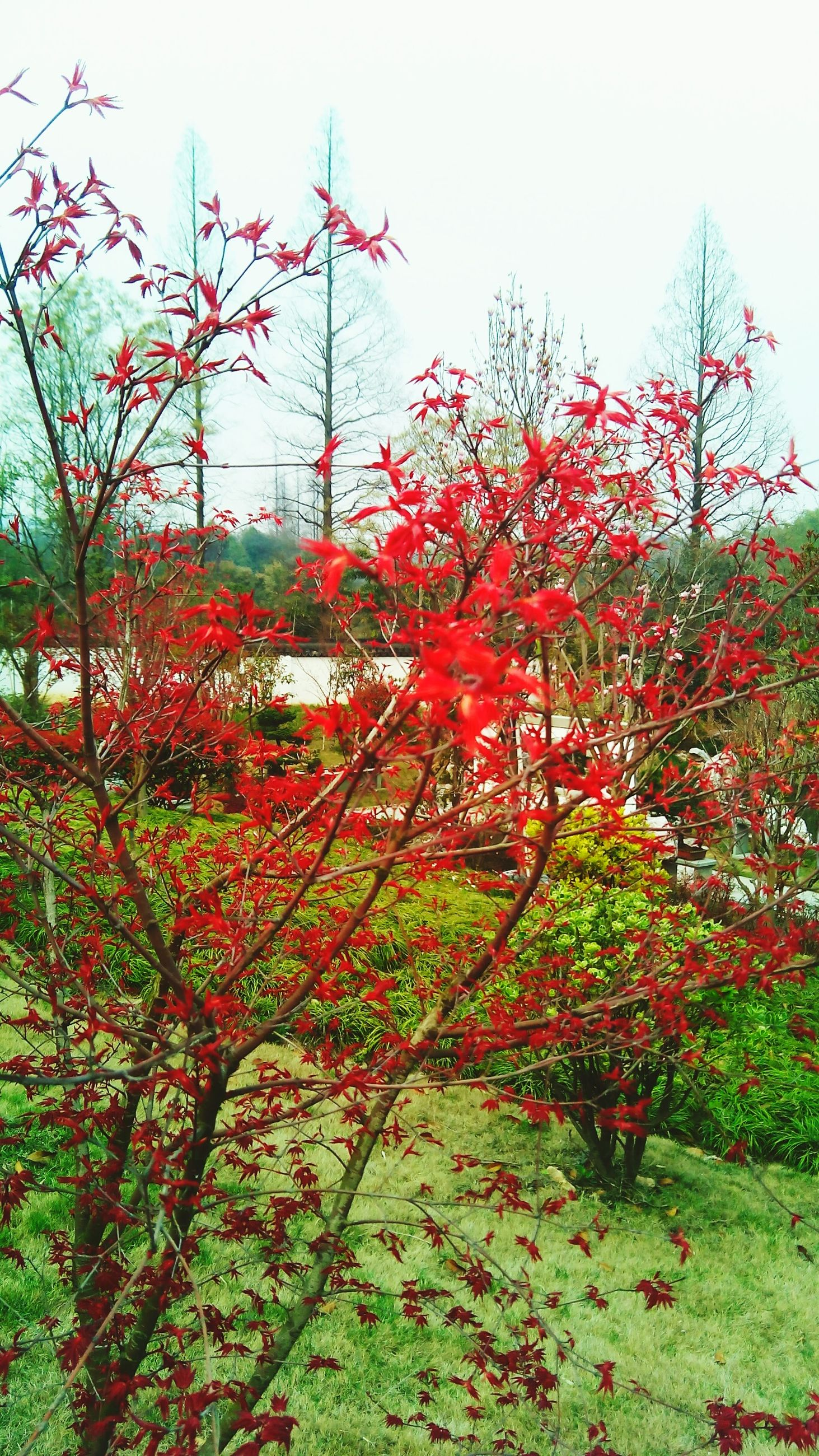 tree, flower, growth, clear sky, nature, freshness, branch, beauty in nature, sky, red, park - man made space, tranquility, plant, day, autumn, pink color, fragility, outdoors, blossom, leaf