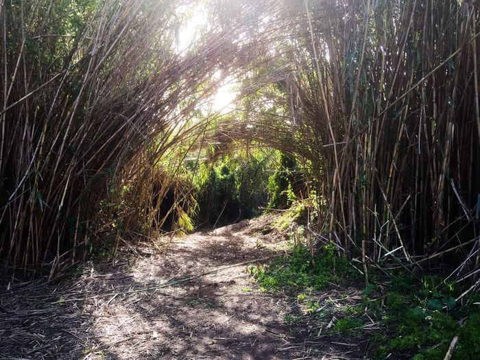 Secret Garden Bamboo Entrance Bamboo Bamboo Forest Stalks Stems Entrance Trail Path Nature Photography Plants Tropical Growth Landscape Greenery Perth Careniup Wetlands Gwelup Garden Lush Western Australia Australia Secret Garden Wetland Wonderland Magical Hiking