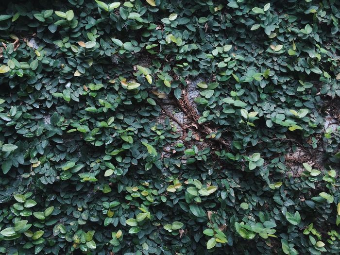 Full Frame Shot Of Ivy On Wall