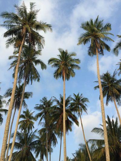 Coconut Trees Koh Kood Thailand