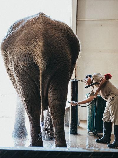 Elephant Elephants Elephants Bathing ZooKeeper Bath Cleaning Animal Themes Animal Animals Hose Water Scrubbing Soap Mammal Tail One Animal