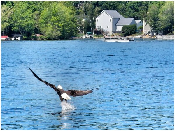 Bald Eagle Eagle Fish Fishing Lake OpenEdit Birds In Flight Bueutifu EyeEm Nature Lover EyeEm Nature Lover First Eyeem Photo