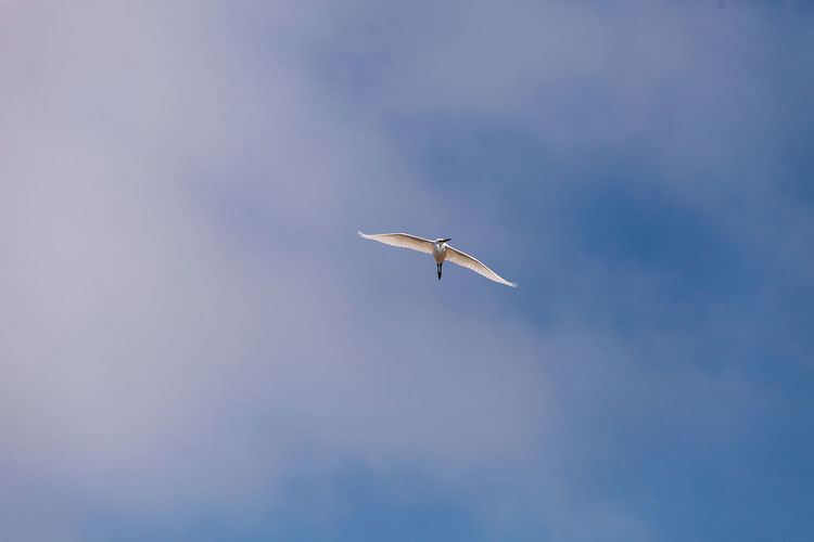 Low Angle View Of Great Egret Flying In Sky