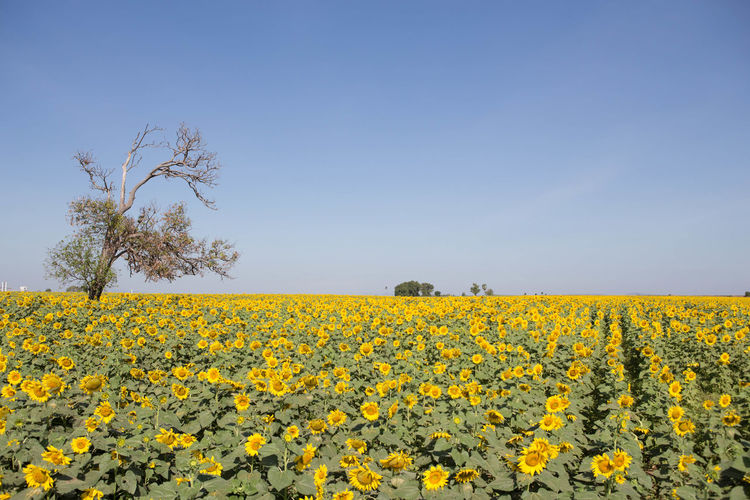 Dry tree in the garden outdoors. Agriculture Blue Sky Dry Field Flower Food Garden Green Color Landscape Nature Plant Sky Springtime Summertime Sunflowers🌻 Sunlight ☀ Tree Yellow Flower