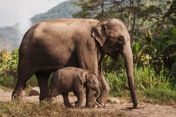 Side view of elephant and calf walking in forest