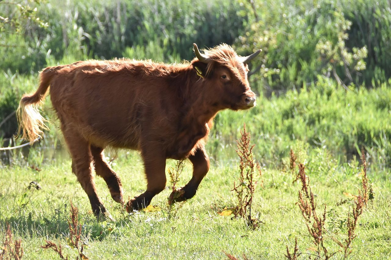 grass, animal themes, mammal, field, livestock, domestic animals, cow, no people, nature, day, outdoors