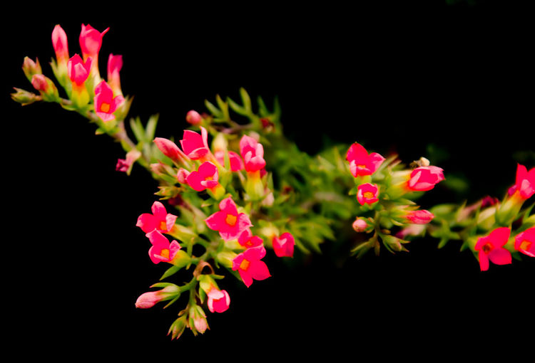 Background Flowers Beautiful Flower Beutiful Low K Close Up Flowers EyeEmNewHere Flower Kalanchoe Low Key Flower