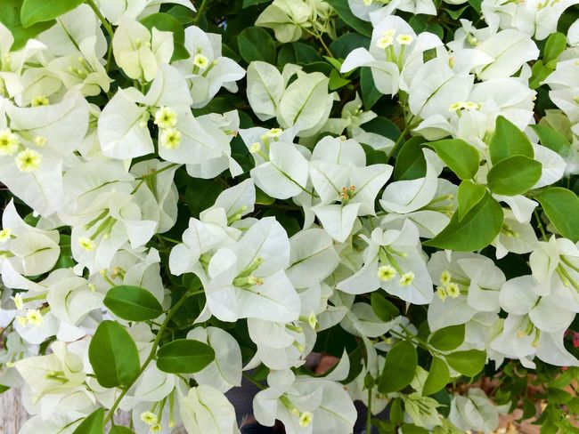 white bougainvillea flower Beautiful Beauty In Nature Blossom Botany Bougainvillea Flower Floral Flowers Garden Gardens Green Natural Nature Outdoors Plant Spring Summer Tropical White Flower