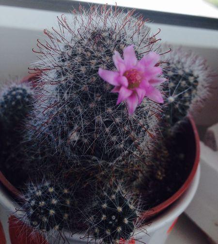 Plant Nature Natur Pflanze  Kaktus Blooming Bloom Pink Green Grün