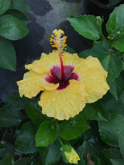 After the rain. Petal Yellow Blooming Hibiscus Red Flower Leaf Plant Freshness Flower Head Close-up Fragility Beauty In Nature