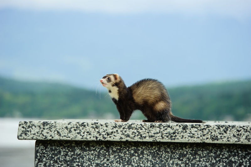 Side view of ferret on retaining wall