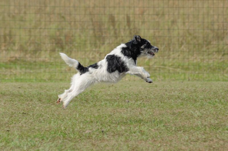 Dog jumping on grassy field