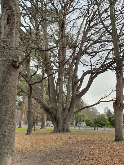 tree Tree Bare
