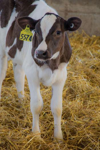 Calf standing on hay