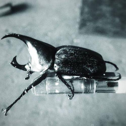 Emperor Beetle. Vscophile VSCO Vscophilippines Vscophilippines_gensan Vscocamphotos Vscogood Vscogrid Seewhatotherscantsee