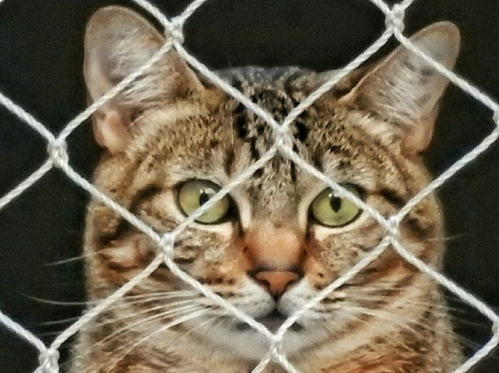 Cat behind the Protection Net. Cats Pets Brindle Cat Cateyes