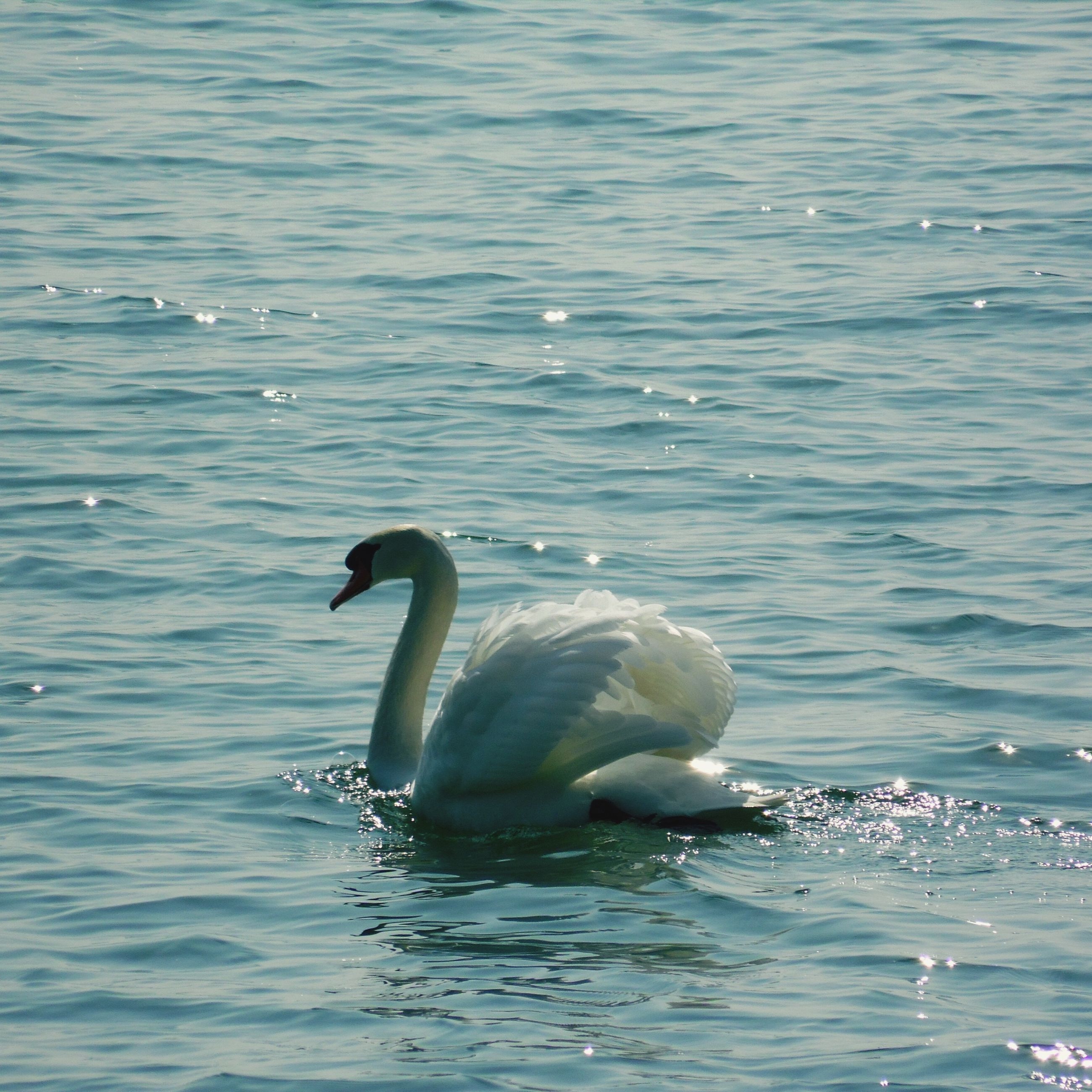 animal themes, water, bird, animals in the wild, wildlife, swimming, waterfront, rippled, sea, lake, nature, swan, seagull, beauty in nature, duck, two animals, one animal, water bird, outdoors, day