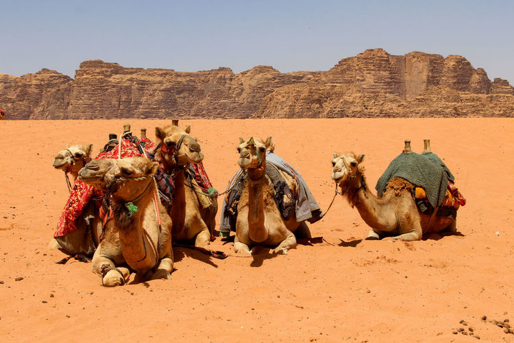 Bedouin Heavy Jordan Middle East Transportation Wadi Rum Animal Arid Climate Beauty In Nature Camel Caravan Carriage Climate Domestic Animals Group Of Animals Money Rest Ride Sand Scenics - Nature Tourism Trade Vertebrate Water Working Animal