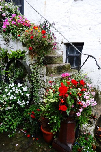 Llandudno Flower Building Exterior North Wales Flowers,Plants & Garden Flower Collection Flowers Fragility Stairs_collection Steps Steps And Staircases Steps And Staircase Potted Plant Blooming Bodafon Farm North Wales