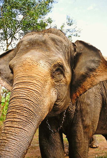An Indian elepjant saying hello - Thailand Animal Themes Animal Trunk Animal Wildlife Animals In The Wild Chain Around Neck Close-up Day Elephant Elephant Calf Indian Elephant Mammal Nature No People One Animal Outdoors Safari Animals Tree Tusk The Week On EyeEm Elephants Trunk