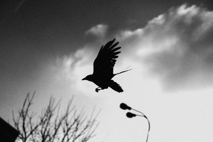 Nevermore The Week on EyeEm Light And Shadow Raven - Bird Crow Capture The Moment Canonphotography Street Photography Bnw Monochrome Black And White Sky Animal Themes Animals In The Wild Animal Wildlife Animal Vertebrate Cloud - Sky Low Angle View One Animal Bird Flying Spread Wings Silhouette Plant Nature No People Tree Mid-air Day Motion Outdoors The Art Of Street Photography