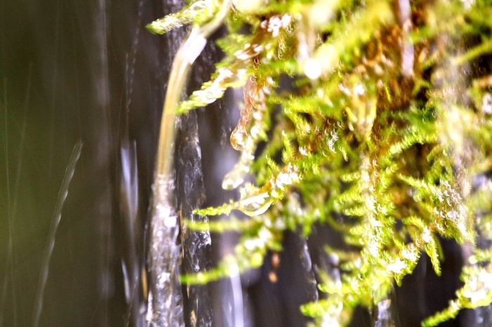 Water drops Tree Water Pine Tree Forest Pinaceae Summer Close-up Grass Plant Waterfall Falling Water Power In Nature
