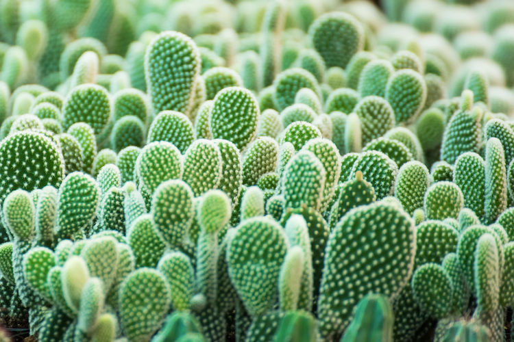 Group of small cactus plant in the pot at cactus garden.Thailand Abundance Backgrounds Barrel Cactus Beauty In Nature Botany Cactus Close-up Day Full Frame Green Color Growth Large Group Of Objects Nature No People Outdoors Plant Repetition Sharp Succulent Plant Thorn