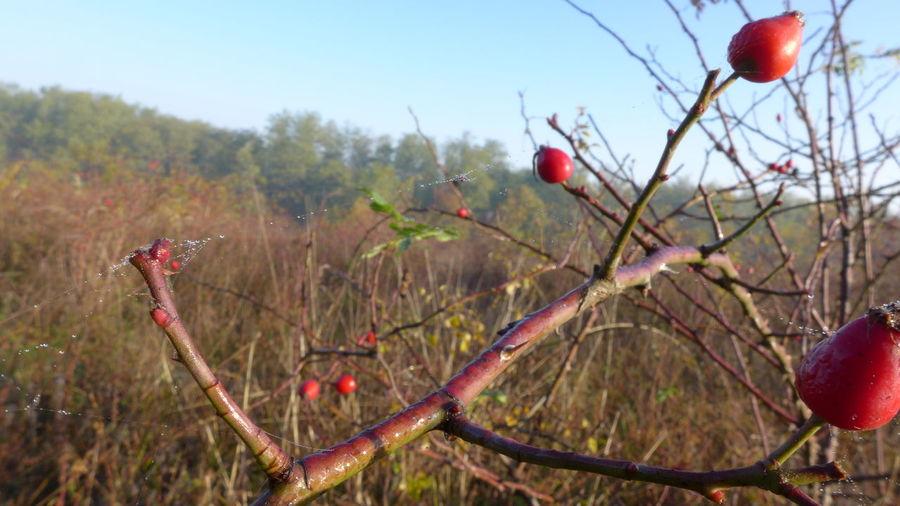 Rosa Hip, Rosa Haw, Rosa Hep, Rosa Canina, Rosa Rugosa, Branch, Wet, Damp, Dew, Hecsedli, Berry, Crop , Cobweb, Bush, Red Berry, No People, Outdoors, Nature in Cserhát, Hungary
