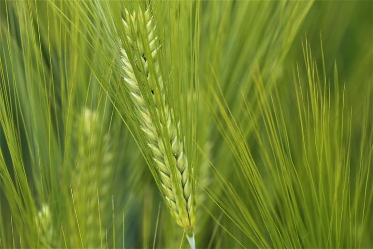 No People Nature Ear Of Wheat Field Outdoors Green Color Close-up Cereal Plant Growth Crop  Agriculture Plant Wheat Beauty In Nature Backgrounds Blade Of Grass Selective Focus Grass Day Freshness Full Frame