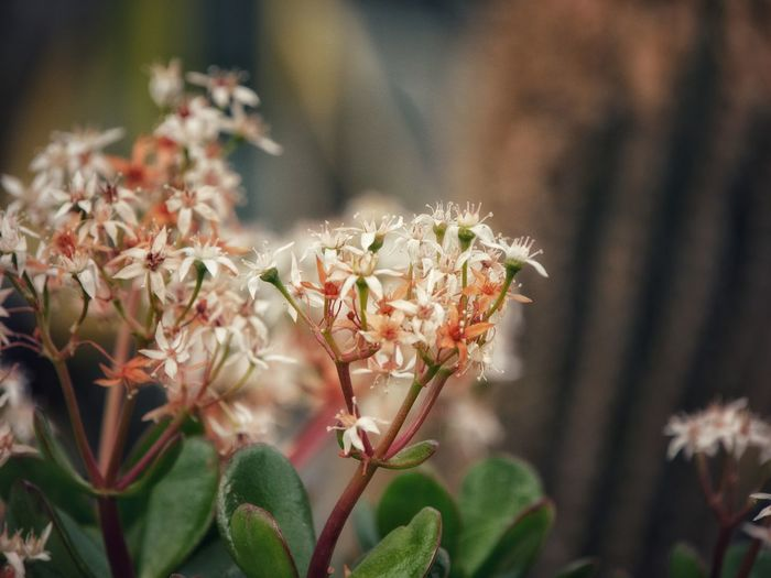 Close-up of white flowering sedum plant. dreamy soft colours of green, warm peach tones and white.
