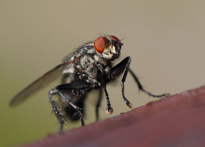 Macro shot of fly