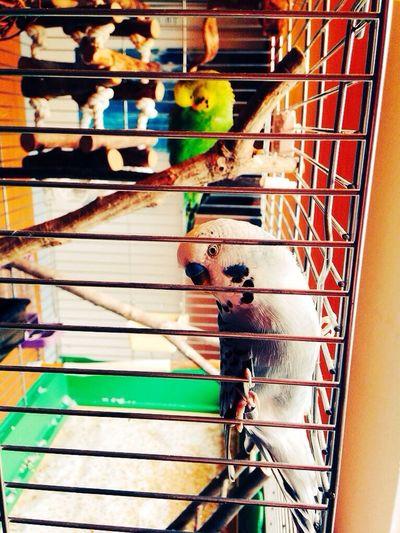 Hello World Parakeets Budgies Sweetheart Cuties <3 Pets Cute Pets