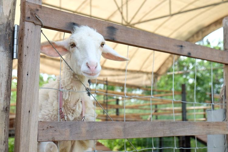 Animal Themes Domestic Animals Livestock One Animal Mammal Wood - Material Day Looking At Camera Outdoors Portrait Focus On Foreground Young Animal No People Nature Close-up Nature White Goat Goat Life Goat Farm Baby Beast Animals EyeEm Selects EyeEm Best Shots
