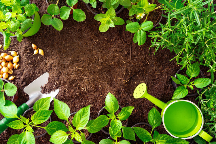 Top View of gardening tools, rosmary, cucumber, strawberry plants and seedlings on soil Leaf Plant Part Growth Plant Green Color Dirt Nature Gardening Beginnings Food And Drink Agriculture Food High Angle View New Life No People Cultivated Directly Above Freshness Planting Garden Outdoors Organic Springtime Care Mud Water Can Rosmary Lavender Strawberry