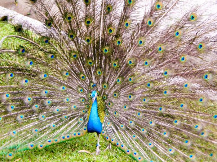 Peacock at