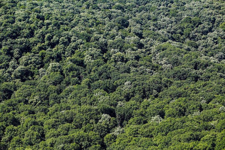Full frame shot of pine trees in forest