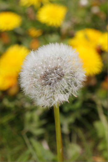The fluffy ball pack of the dandelion flower waiting for the wind Beauty In Nature Blooming Close-up Dandelion Day Flower Flower Head Fragility Freshness Growth Nature No People Outdoors Plant Seed Head Seeds Uncultivated Yellow