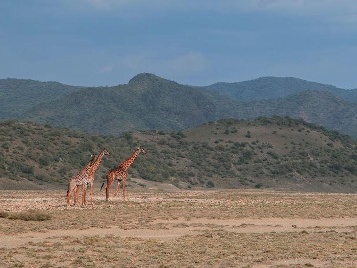 A herd of masai giraffe - giraffa tippelskirchi at shompole conservancy, magadi, rift valley, kenya