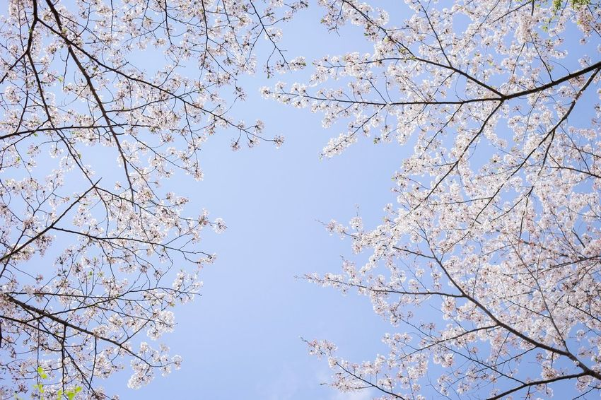 Low Angle View Sky Tree Plant Clear Sky Branch Nature Beauty In Nature Blue No People Day Outdoors Growth Tranquility Flower Flowering Plant Springtime White Color Bare Tree Backgrounds
