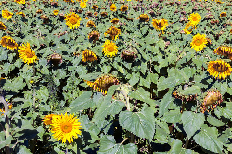 Brazil Farming Vehicles Growth Litmus Minas Gerais Asteraceae Asterales Beauty In Nature Blu Sky Camp Cultivation Field Flower Growth Healthy Food Helianthus Leaf Nature Outdoors Plant Plantation Sunflower Tillage Turnsole Yellow
