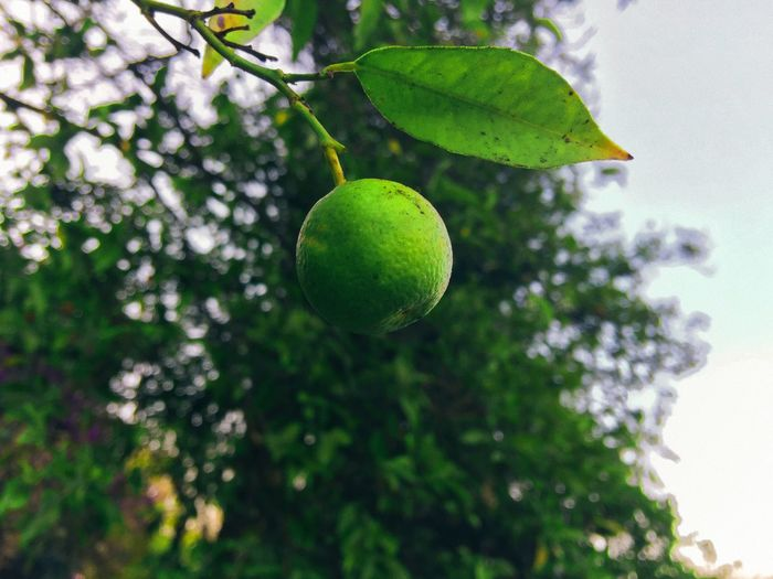 Iapaward Tree Growth Fruit Green Color Nature Leaf Freshness Orange - Fruit Orange Focus On Foreground Close-up No People Beauty In Nature Low Angle View Outdoors Branch Day Food IPhone