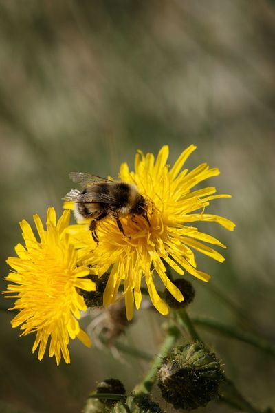 Honeybee on wild flower Honigbiene Biene Yellow Nobody Flower Flowering Plant Yellow Insect Animal Animal Themes Animal Wildlife One Animal Flower Head Animals In The Wild Bee Petal Beauty In Nature Fragility Close-up Nature