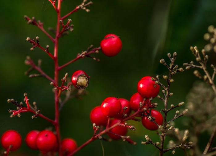 Reddish Fruit