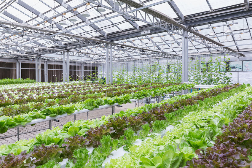 Hydroponics greenhouse. Organic green vegetables salad in hydroponics farm for health, food and agriculture concept design. Hydroponics is a non soil plant. Agriculture Farm Green Growing Growth Nature Plant Background Environment Farming Food Fresh Garden Greenhouse Grow Health Healthy Hydroponic Vegetables Hydroponics Leaf Organic System Technology Vegetable Water