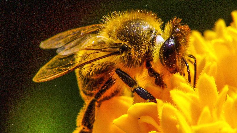 fleißige Honigbiene Best Shots Hofi Best Tiere Hofi Honigbiene Animal Themes Beauty In Nature Bee Bumblebee Busy Bee Close-up Flower Head No People Outdoors Pollen Yellow Erntezeit Erntezeit 👌 Nahaufnahme Insekten Paint The Town Yellow EyeEmNewHere Crafted Beauty