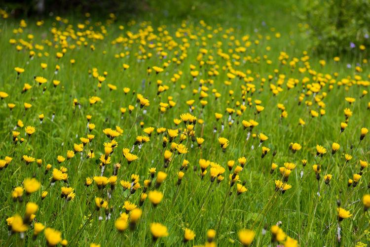 Full frame shot of yellow flowering plants on field