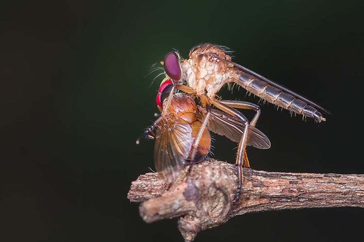 Robber fly with prey Macro Photography Nature Wildlife Photography Close-up Macro Robber Robberfly Wildlife