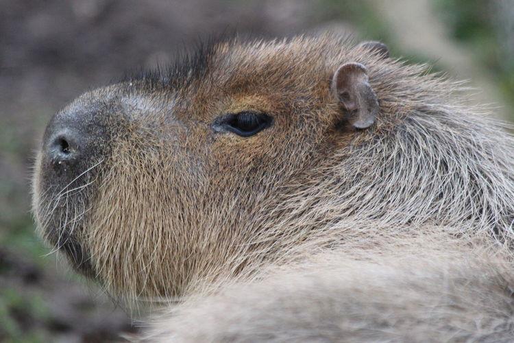 Close-up of giant guinea pig capybara